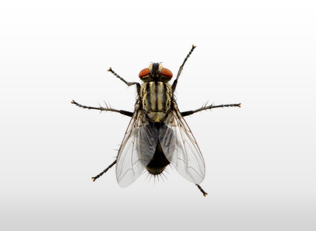 זבובים ומעופפים
